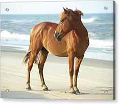 Banker Horse - 5 Acrylic Print