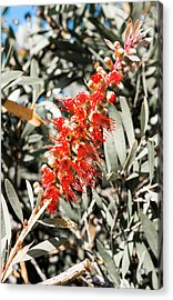 Banksia - Canberra - Australia Acrylic Print by Steven Ralser