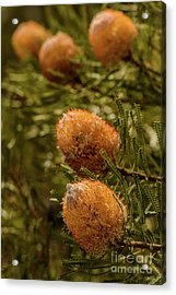 Acrylic Print featuring the photograph Banksia by Werner Padarin