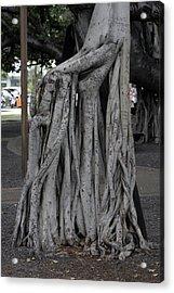 Banyan Tree, Maui Acrylic Print