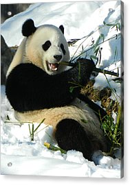 Bao Bao Sittin' In The Snow Taking A Bite Out Of Bamboo2 Acrylic Print