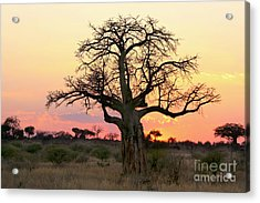 Baobab Tree At Sunset  Acrylic Print