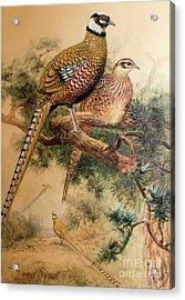 Bar-tailed Pheasant Acrylic Print