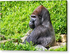 Baraka - Western Lowalnd Silverback Gorilla Acrylic Print