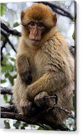 Acrylic Print featuring the photograph Barbary Ape by Ramona Johnston