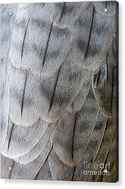 Barbary Falcon Feathers Acrylic Print