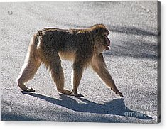 Barbary Macaque, Morocco Acrylic Print by Jim Wright