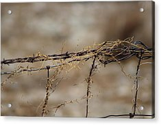 Barbed Wire Entwined With Dried Vine In Autumn Acrylic Print