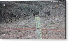 Barbwire And Whitetails Acrylic Print by Carolyn Postelwait