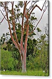 Bare Pink Tree Acrylic Print by Liz Vernand