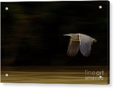 Bare-throated Tiger-heron Blur Acrylic Print by Juan Carlos Vindas