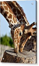 Baringo Giraffes Acrylic Print