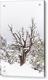 Bark And White Acrylic Print