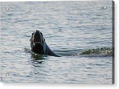 Barking Sea Lion Acrylic Print by Loree Johnson