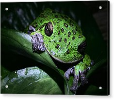 Barking Treefrog Acrylic Print by JC Findley