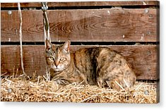 Barn Cat Acrylic Print by Jason Freedman