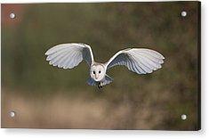 Barn Owl Approaching Acrylic Print
