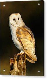 Barn Owl At Dawn Acrylic Print