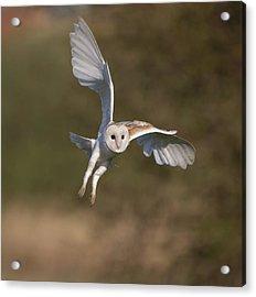 Barn Owl Cornering Acrylic Print