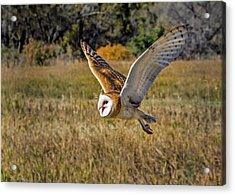 Barn Owl Flight 6 Acrylic Print