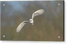 Barn Owl Hunting In Worcestershire Acrylic Print