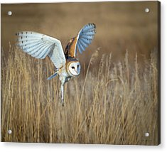 Barn Owl In Grass Acrylic Print