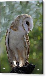 Barn Owl Acrylic Print by Keith Lovejoy