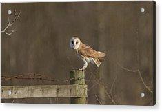 Barn Owl On Fence Acrylic Print