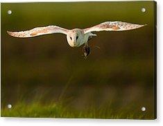 Barn Owl Acrylic Print by Paul Neville