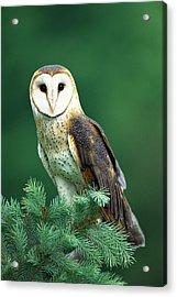 Barn Owl Tyto Alba Portrait, Hudson Acrylic Print by Tom Vezo