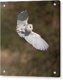 Barn Owl Wings Acrylic Print
