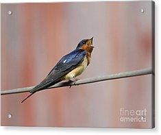 Barn Swallow Calling Acrylic Print by Marie Read