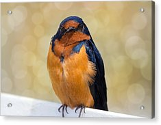 Barn Swallow Acrylic Print by David Gn