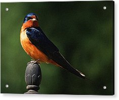 Barn Swallow Digital Art Acrylic Print by Ernie Echols
