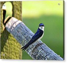 Barn Swallow Looking Angry Acrylic Print