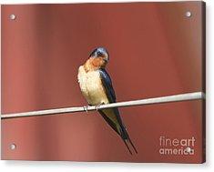 Barn Swallow Acrylic Print by Marie Read