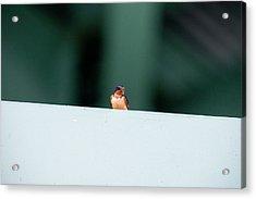 Barn Swallow Perch On Bridge Strut Acrylic Print by Dan Friend