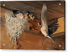 Barn Swallows At Nest Acrylic Print by Scott  Linstead