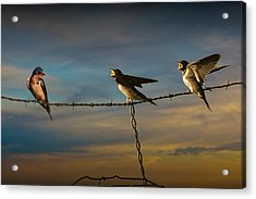 Barn Swallows On Barbwire Fence Acrylic Print by Randall Nyhof