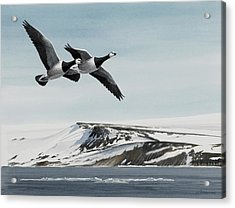 Barnacle Geese Acrylic Print by Dag Peterson
