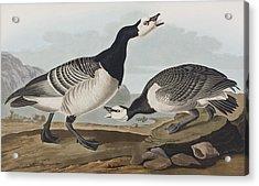 Barnacle Goose Acrylic Print by John James Audubon