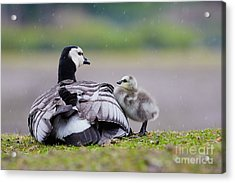 Barnacle Goose With Chick In The Rain Acrylic Print