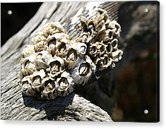 Barnicles And Wood Acrylic Print by Mary Haber