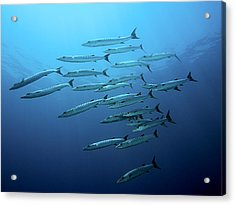 Barracudas Acrylic Print by Henry Jager