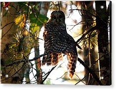 Barred Owl At Sunrise Acrylic Print