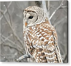 Barred Owl Close-up Acrylic Print