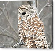 Barred Owl Close-up Acrylic Print