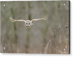 Barred Owl In Flight II Acrylic Print by Scott  Linstead