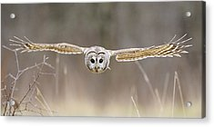 Barred Owl In Flight Acrylic Print by Scott  Linstead