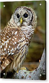Acrylic Print featuring the photograph Barred Owl Juvie by Timothy McIntyre